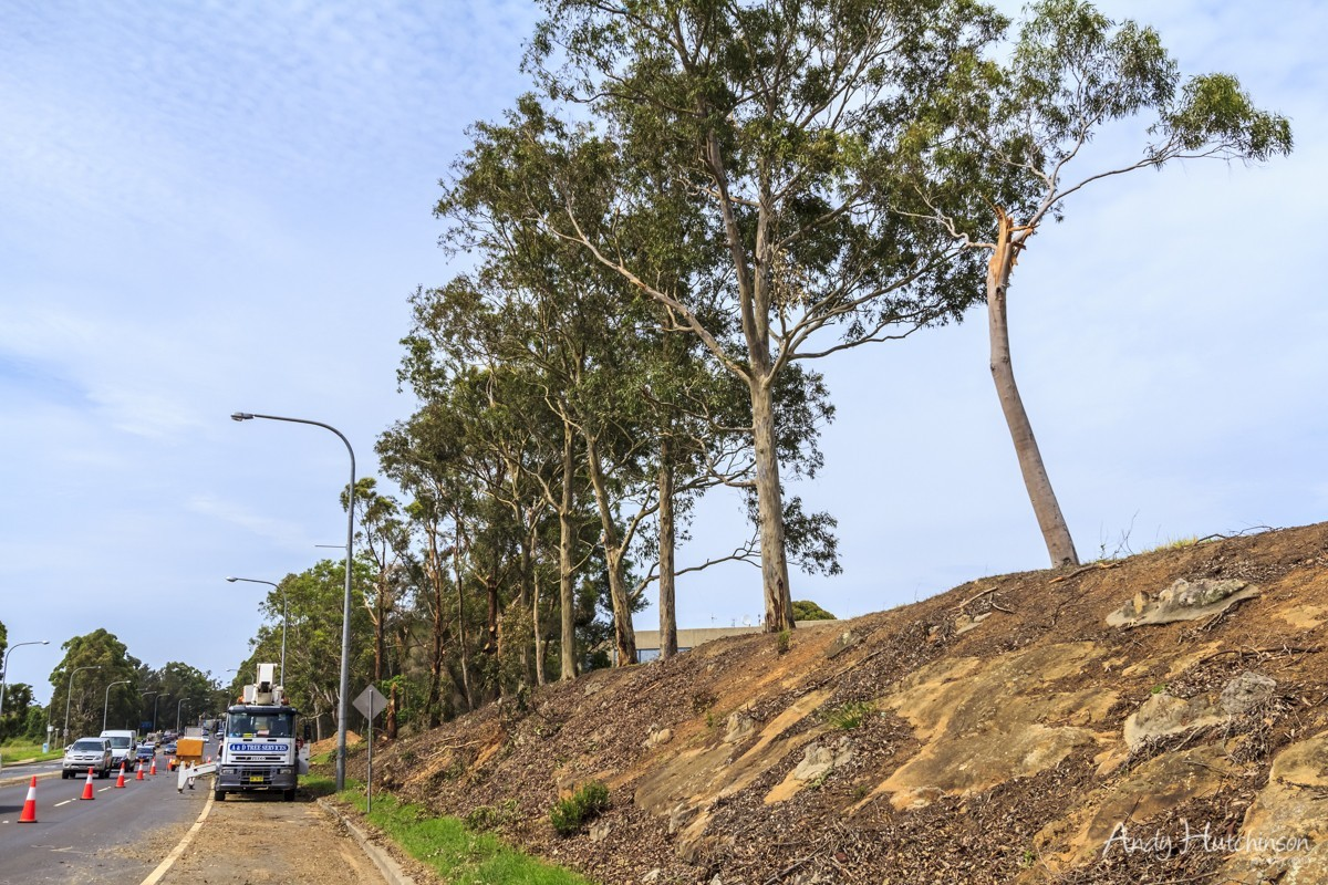 Now on the edge of Nowra, the tornado blew down or stripped bare trees in front of the council offices. This is the Princes Highway – the main road passing through the region and one of the busiest stretches of road around.