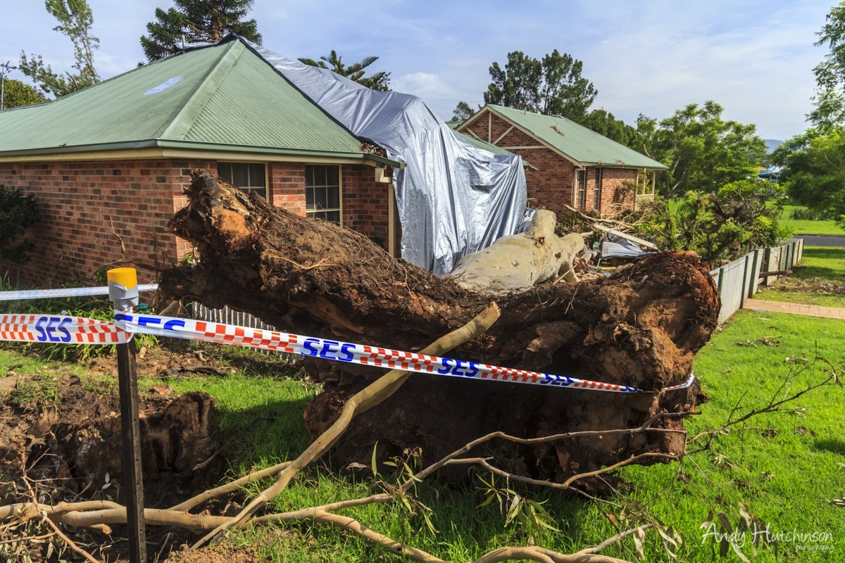 Now nearing the end of its destructive lifespan, the tornado wreaked havoc on these usually quiet streets in Nowra. Locals had petitioned to have this tree removed because they believed it was rotten. When it fell an infestation of white ants was revealed. The wind then passed over the Shoalhaven hospital, damaging its roof, before fading out in bush-land to the west of Nowra.